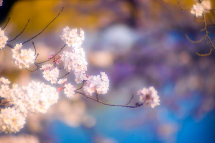 Cherry Blossoms – Kawagoe 2015